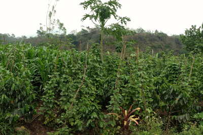 maya farming - maya agriculture - Planet Archaeology